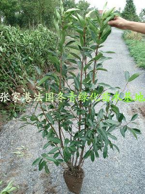 5米法国冬青(珊瑚树)-张家港法国冬青绿化苗木网